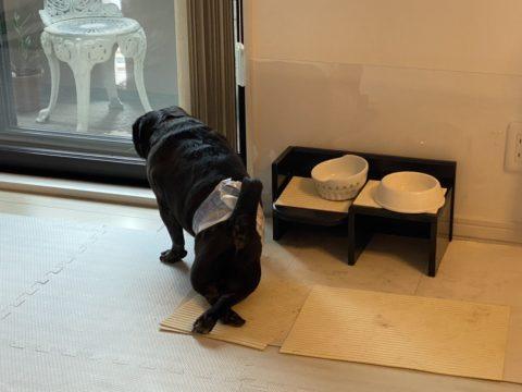 ヘルニアで後ろ足がたたない黒パグ犬